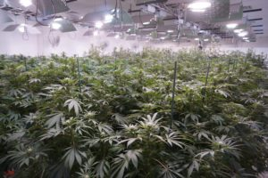 Colorado Shares Its Pot Knowledge With Several States- Island Stage Magazine
